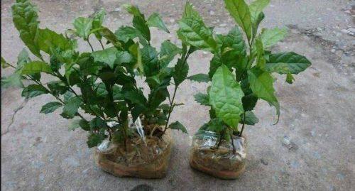 Kỹ thuật trồng cây xạ đen góp phần rất quan trọng trong việc phát triển của cây