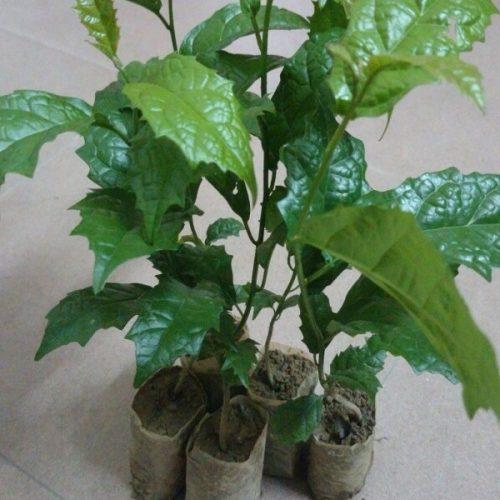 Kỹ thuật trồng cây xạ đen trong đó có phương pháp giâm cành