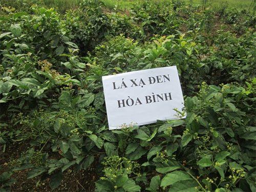 Mua cây xạ đen ở đâu uy tín? Địa chỉ bán cây xạ đen tại Hà Nội