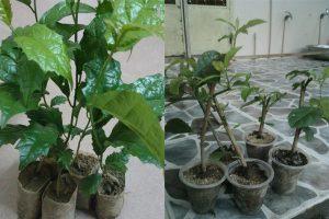 Người dùng có thể trồng cây xạ đen bằng cách ươm hạt hoặc giâm cành.