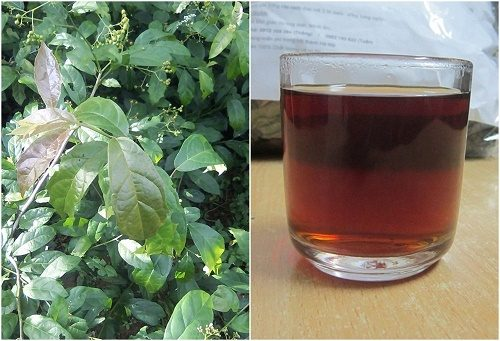 Trà xạ đen sắc uống trị bệnh hiệu quả