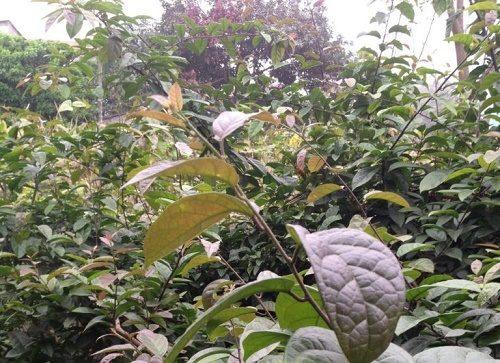 Đặc điểm của cây lá xạ đen