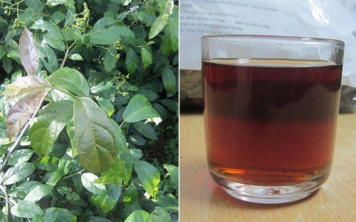 Cách dùng cây xạ đen phổ biến nhất là sắc nước uống hằng ngày