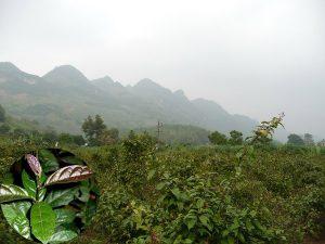 Kỹ thuật trồng cây xạ đen đúng sẽ giúp cây phát triển và đem lại hiệu quả kinh tế cao.