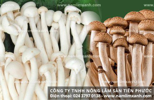 Nấm ngọc trâm là gì với đặc điểm tác dụng và cách dùng nấm ngọc trâm