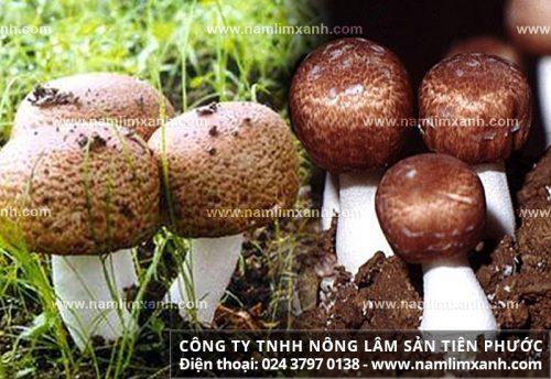 Nấm thái dương là gì với đặc điểm tác dụng và cách dùng nấm thái dương.
