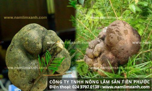 Công dụng nấm phục linh và tác dụng của nấm trong bài thuốc dân gian