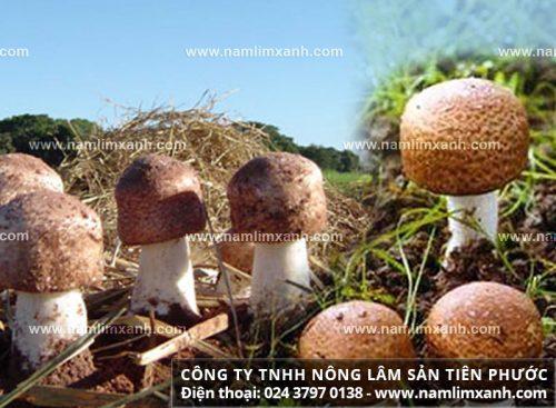 Công dụng nấm thái dương điều trị ung thư và dụng dược chất trong nấm