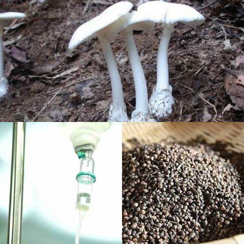 Ngộ độc nấm tán trắng cần được sơ cứu khẩn cấp