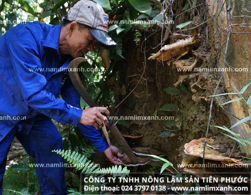 Thợ rừng tìm hái nấm lim từ một gốc cây lim xanh mục