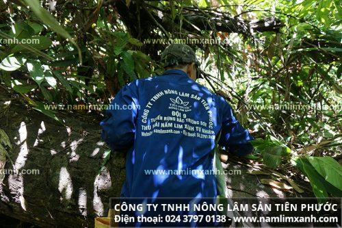 Trèo lên cây đổ tìm hái nấm cây lim xanh tự nhiên