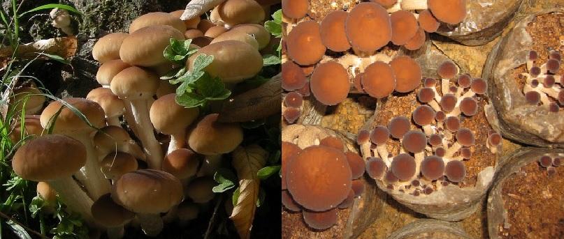 Cách chăm sóc nấm trân châu và nấm trà tân trồng ở thời điểm nào?