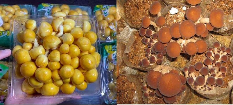 Cách dùng nấm trân châu với cách sơ chế nấm trân châu như thế nào?