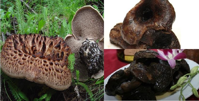 Cách dùng nấm vuốt hổ đen với sơ chế và bảo quản nấm vuốt hổ đen
