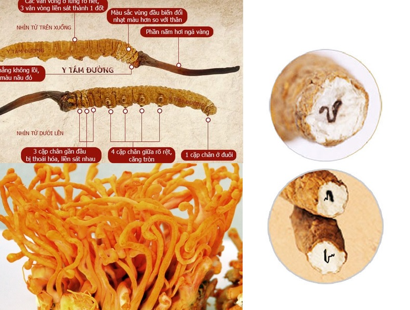Cách nhận biết nấm đông trùng hạ thảo thật giả để đảm bảo an toàn