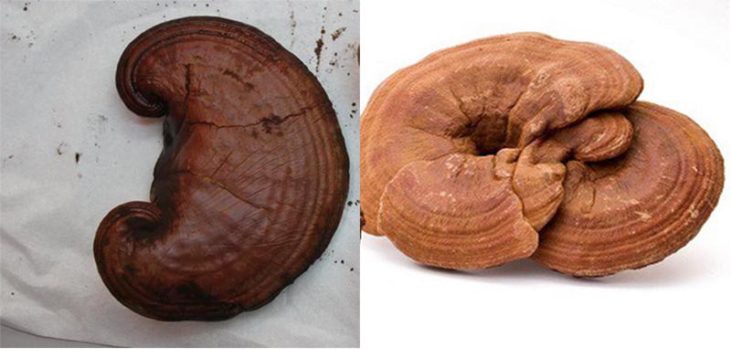 Cách nhận biết nấm linh chi thật giả và các loại nấm linh chi ra sao?