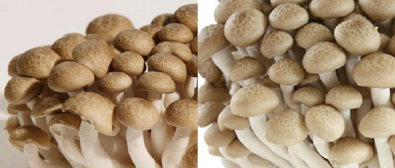 Giá của nấm cẩm thạch bao nhiêu tiền 1kg với các loại nấm cẩm thạch