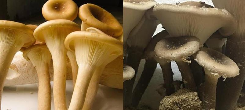 Giá trị thành phần dinh dưỡng của nấm chân dài và lợi ích nấm chân dài