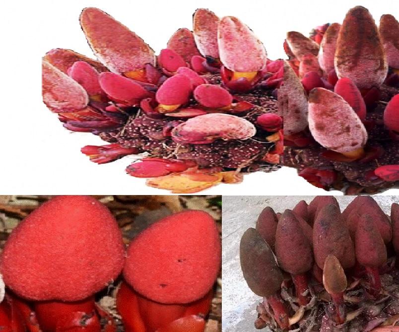 Giá trị thành phần dinh dưỡng của nấm ngọc cẩu và công dụng dược chất