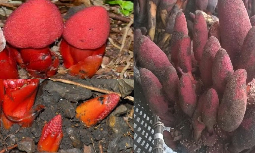 Hình ảnh nấm ngọc cẩu đực và cái trong rừng tự nhiên như thế nào?