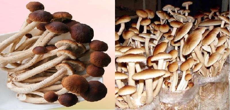 Hình ảnh nấm trân châu với nấm trân châu tự nhiên thường mọc ở đâu?