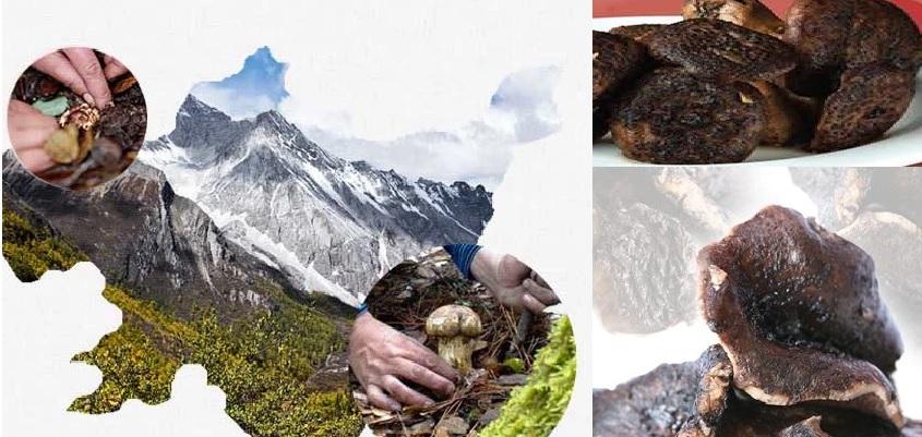 Hình ảnh nấm vuốt hổ đen và điểm nhận biết nấm vuốt hổ đen tự nhiên