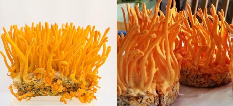 Nấm đông trùng hạ thảo là gì và cây nấm đông trùng tự nhiên tươi khô