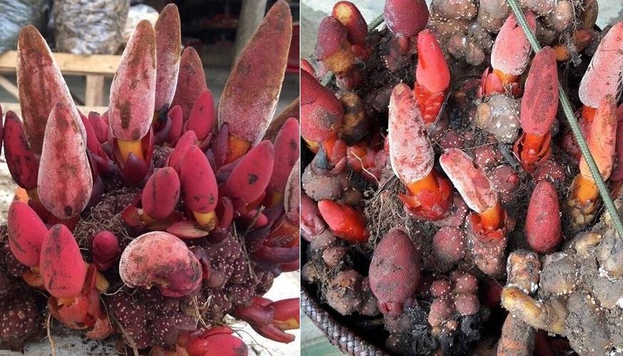 Nấm ngọc cẩu là gì với hình ảnh cây nấm ngọc cẩu tự nhiên mọc ở đâu?