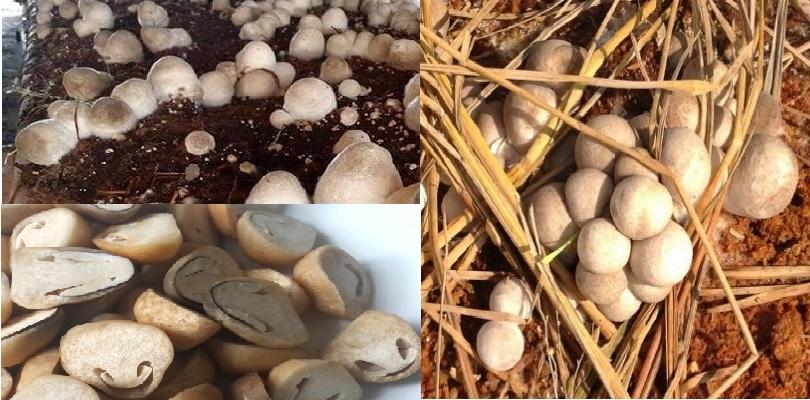 Nấm rơm thường mọc ở đâu trong tự nhiên và điều kiện để sinh trưởng