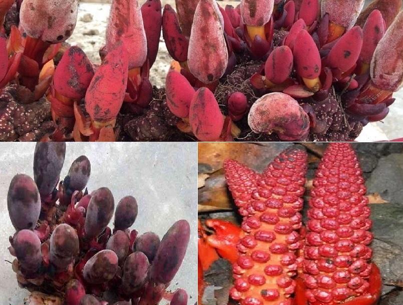 Tác dụng của nấm ngọc cẩu trị bệnh gì với công dụng và lợi ích nấm ngọc cẩu