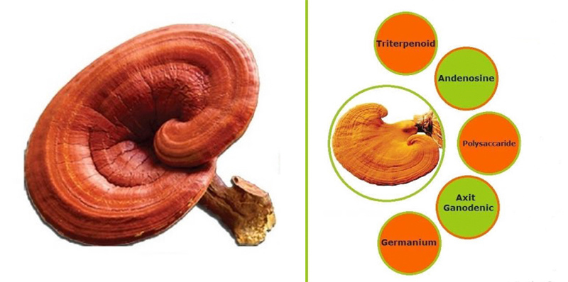 Thành phần dược chất trong nấm linh chi và dùng nấm linh chi ra sao?