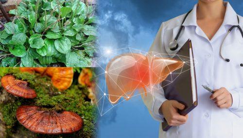Cách hỗ trợ điều trị xơ gan bằng Đông y từ nấm lim xanh và cây mã đề