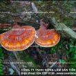 Cách nấu nấm lim xanh rừng Quảng Nam, cách chọn nấm lim rừng