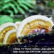 Cây nấm lim xanh rừng tự nhiên Tiên Phước bài thuốc quý chữa ung thư
