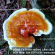 Công dụng chữa bệnh của nấm lim xanh rừng thật chữa khỏi bệnh gout