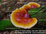 Công dụng của nấm lim xanh rừng Quảng Nam chữa bệnh ung thư nào?