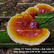 Công dụng nấm lim xanh Tiên Phước chữa bệnh ung thư thực quản