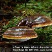 Cách phân biệt nấm lim xanh thật giả – Nhận biết nấm lim rừng tự nhiên