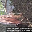 Mua nấm lim xanh tại Hậu Giang đảm bảo tác dụng của nấm lim rừng