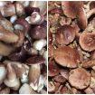 Nấm keo: Đặc điểm tác dụng và cách dùng nấm keo