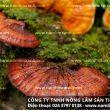 Nấm liêm xanh rừng tự nhiên hỗ trợ điều trị, ngăn ngừa bệnh Gout