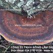 Nấm lim rừng Quảng Nam giá bao nhiêu tiền 1kg? Nhận biết nấm thật
