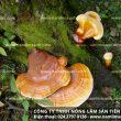 Nấm lim rừng tự nhiên Tiên Phước trong nghiên cứu y học nước ngoài