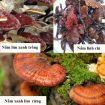 Nấm lim xanh giả và độc tố nấm lim trồng – Nhận biết nấm lim rừng