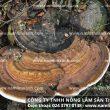 Nấm lim xanh mọc ở đâu – Nguồn gốc cây nấm lim trong rừng tự nhiên