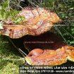 Chế biến nấm lim xanh rừng gia truyền công ty Nông lâm sản Tiên Phước