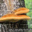 Nấm lim xanh rừng Hà Nội, địa chỉ đại lý bán nấm lim xanh rừng tự nhiên