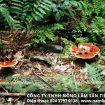 Nấm lim xanh rừng tự nhiên thật – Cách sử dụng nấm lim chữa bệnh