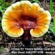 Địa chỉ bán nấm lim xanh ở Tây Ninh đảm bảo nấm lim xanh rừng tốt