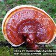 Địa chỉ bán buôn nấm lim xanh ở Ninh Thuận có giá nấm lim rừng tốt